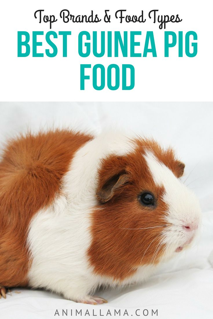 45 best rabbits and guinea pigs images on pinterest guinea pigs best guinea pig food top 5 brands recommended food types sciox Gallery