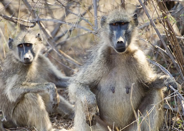 Monkeys at the Kruger National Reserve in South Africa