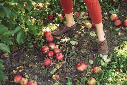 Apple Picking.