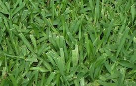 Buffalo Grass Shade Ratings - The Buffalo Lawn Care Site - Palmetto   Sapphire   Sir Walter   Matilda   Buffalo Lawn Reviews
