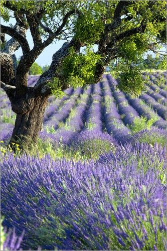 Poster Einsamer Baum im Lavendelfeld im Valensole Plateau