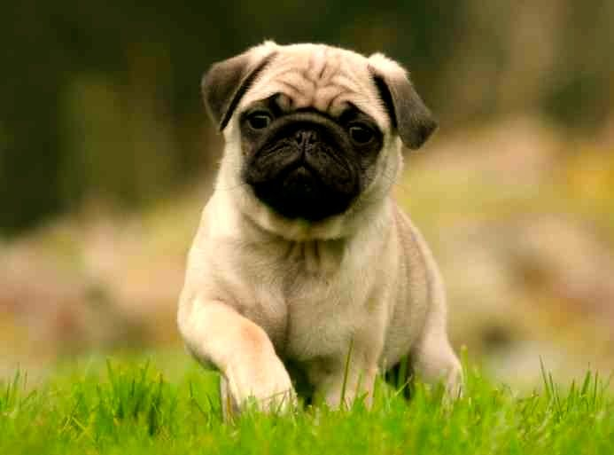 Características físicas de la raza de perro pug