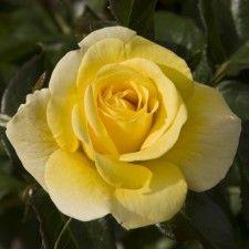 IVEY HALL | Roses by Name | Shades of Yellow / Gold | Award Winners | Floribunda