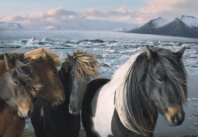 ...in Iceland (photo by Tim Flach): Flach Photography, Galleries, Animal Photography, Beautiful Hors, Tim Flach, Flats, Wild Hors, Hors Photo, Iceland Horses