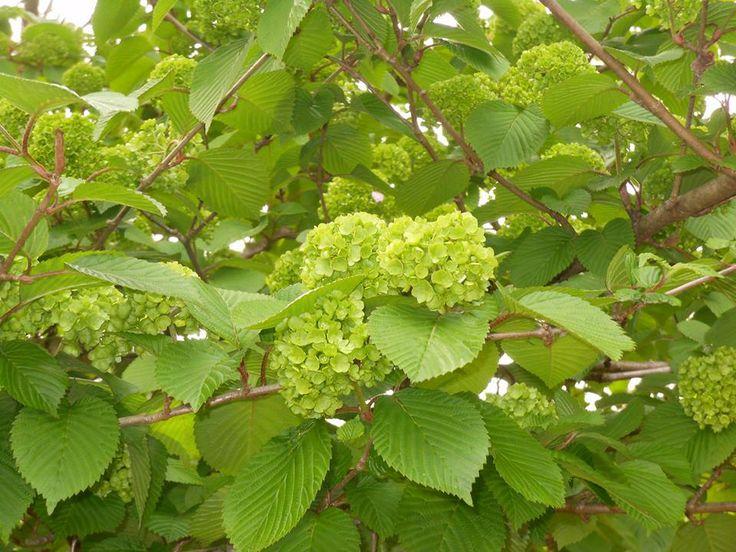 5月9日【オオデマリ(大手毬)】 学名:Viburnum plicatum var. plicatum f. plicatum 別名:テマリバナ 形態:落葉樹 樹高:低木 分類:スイカズラ科 花色:咲き始めは黄緑色、開くと白色。 使われ方:庭木、公園樹などとして使われています。  写真は、2年前の5月に、山梨県北杜市「Present Tree ヤマガラの森」の管理人さんのお宅のお庭で撮った咲き始めのオオデマリ。私は、この黄緑色の花が大好きです。