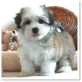 Havanese Puppies For Sale In Yuba City