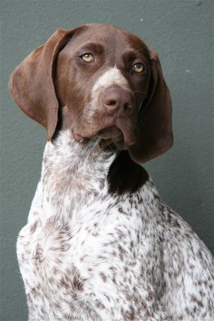 german shorthair pointers pics in colorado - Bing Images