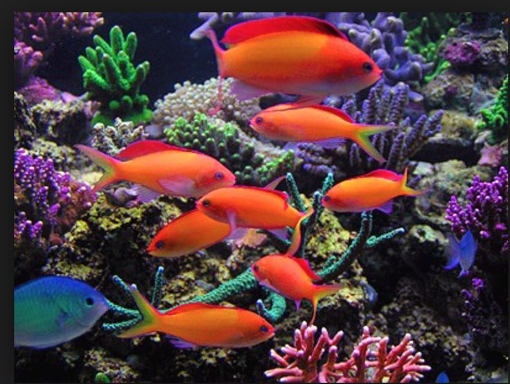 Pseudanthias dispar - Pazifischer Flammenfahnenbarsch http://www.meerwasser-aquaristik.de..html