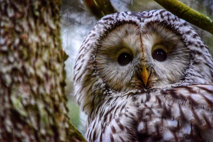 Owl at Järvzoo. Photo:T.Paulzon