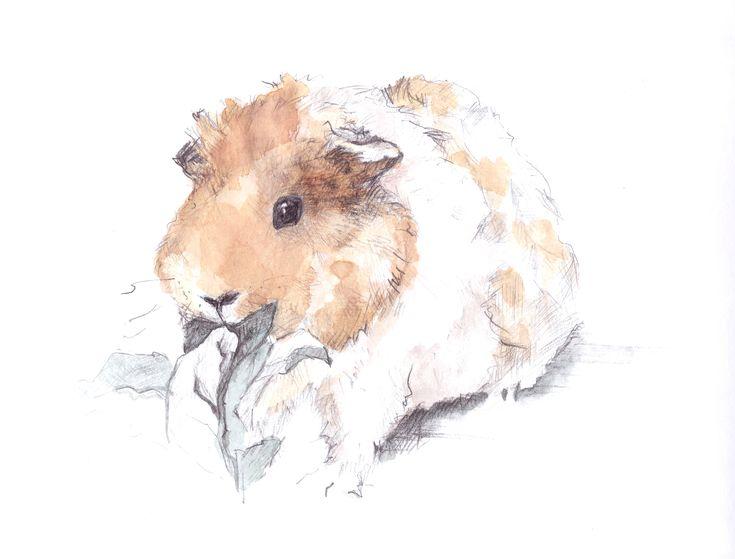 Guinea pig aquarell