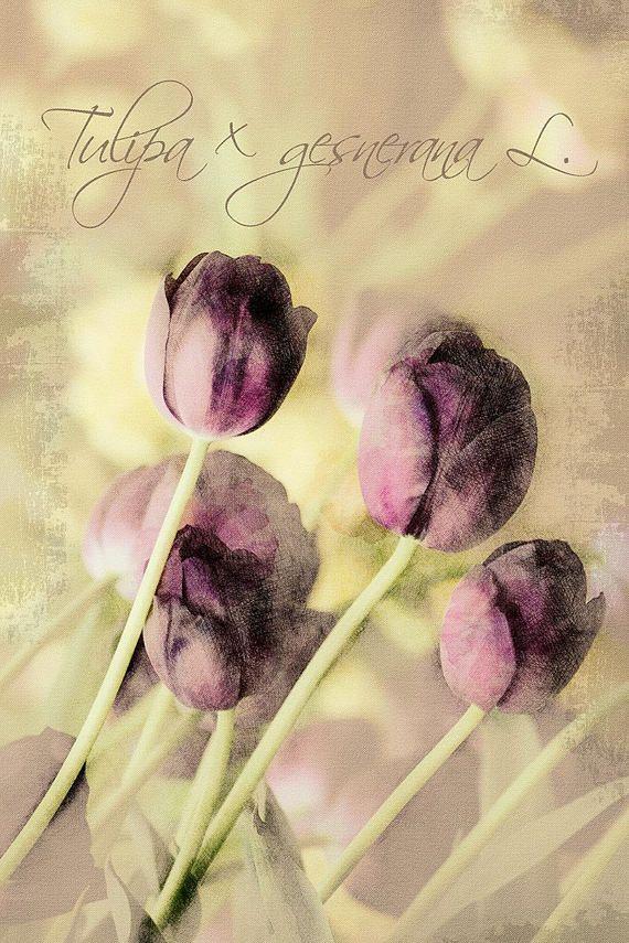 Tulipa x gesnerana L.  Digital Download Art botanical print