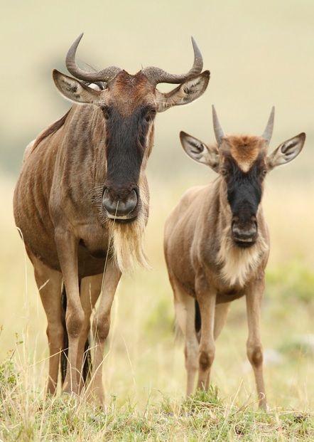 Wildebeest (Megan Lorenz) - http://www.facebook.com/pages/Pour-la-protection-des-animaux-et-de-la-nature/120423378016370