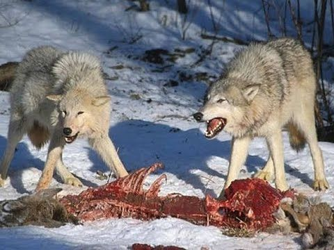 Animal planet documentary - In the Valley of the Wolves - Documentaries .