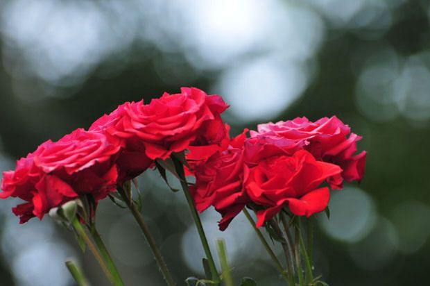 Rose cutting tips to prolong and encourage bloom