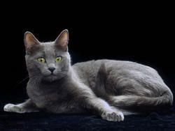 Chat Korat