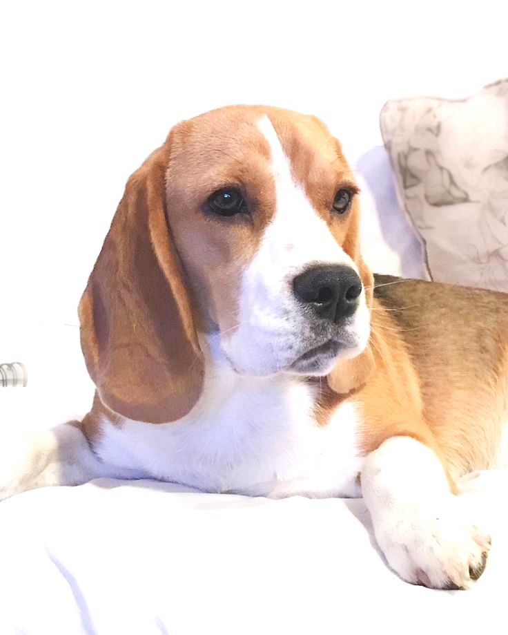Pin By Dora K Torres On Beagle Beagle Dog Beagle Puppy Dog Breeds