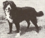 Smithfield dog - From the 1800's, a dog for the first settlers to Australia that contributed to the Australian Cattle Dog.