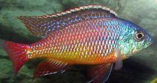 (1) Red Empress Haplochromide African Cichlid 1.5 inch +  GUARANTEED