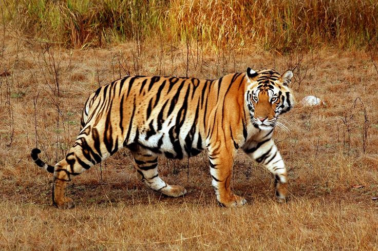 tigers | ... to satisfy their needs and in the case of tigers their young growing