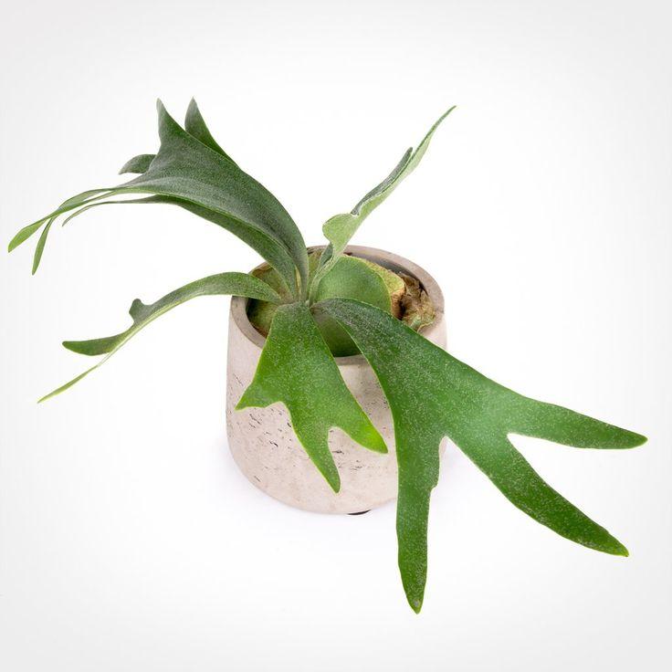 Platycerium Bifurcatum - Staghorn Fern - Pistils Nursery