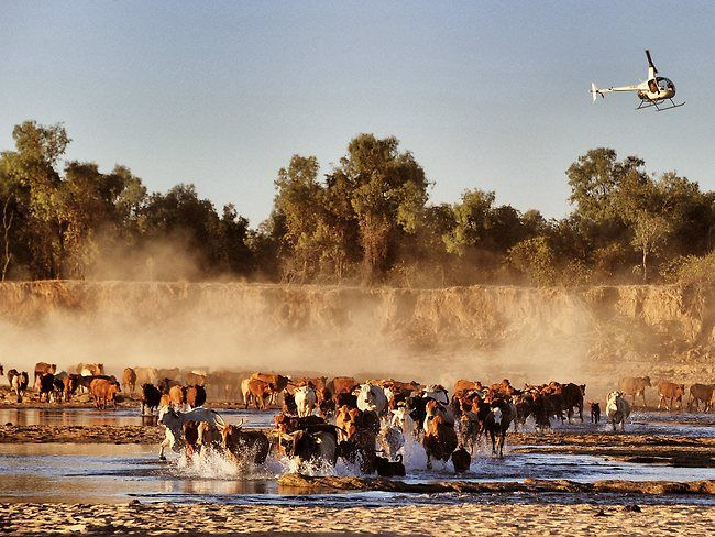 120804 Wild Rivers | Helicopter cattle muster | The Australian