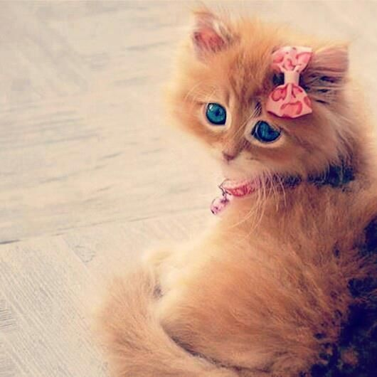 Darkblue Eyed Brown Kitten