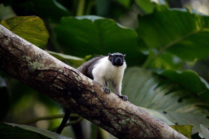 O sauim (ou sagui de duas cores): essa espécie em extinção é encontrada na floresta amazônica brasileira. Existem vários programas de reprodução que visam conservar essas criaturas e garantir sua sobrevivência.