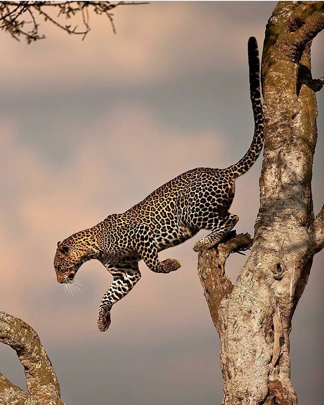 Leopard  Great shot Photography by @suhaderbent #Wildgeography