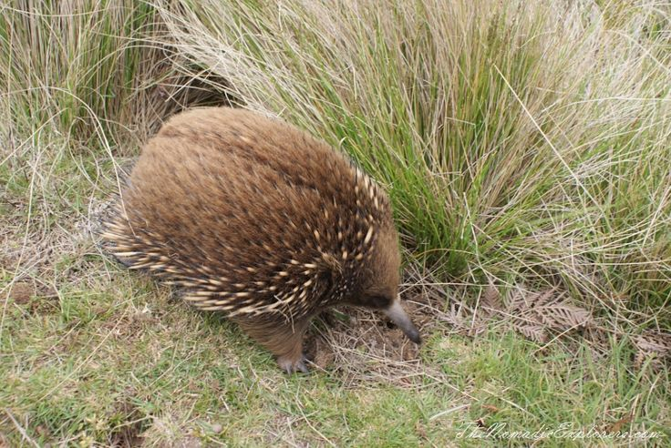Tasmania, Day 6. Stanley. 'The Nut' walk and meeting with echidnas!