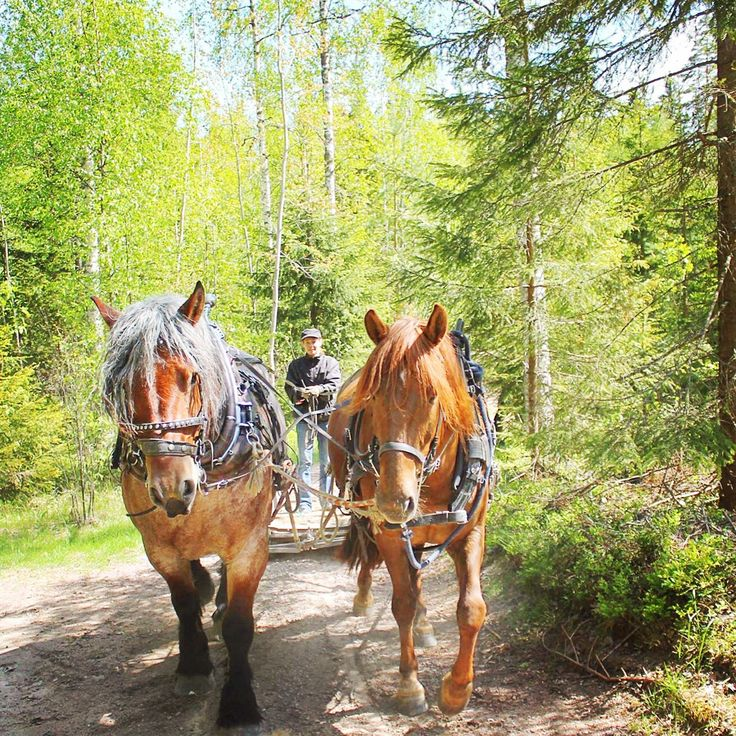 Teaching #Finnhorse mare Minttu in a pair with Swedish Ardenner Lincon at Åfeltin Työhevoset (www.tyohevoset.fi). Pair driving and farming with horses.