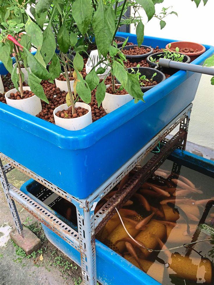A basic aquaponics setup water from the fish tank below
