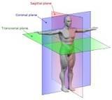 Anatomical Body Planes