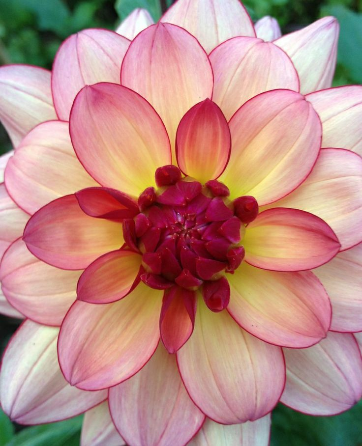 ✯ Dahlia 'Rawhide' Beautiful gorgeous pretty flowers* this must be one of the most gorgeous Dahlias I have ever seen.