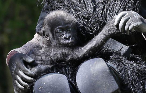 BUT THAT FACE. | Dream Job Alert: Surrogate GorillaMother