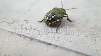 A green shield beetle larva walking on a table