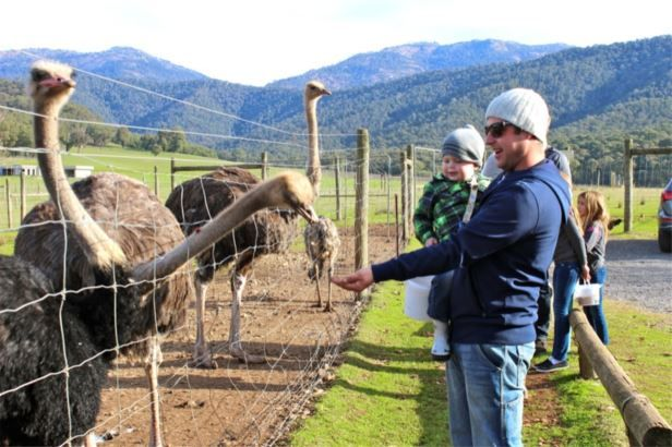 What to do in Bright and Surrounds, Victoria : Feed the animals at Red Stag Deer Farm, Eurobin : Alpine Valley Getaways