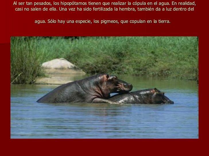 reproduccion en hipopotamos
