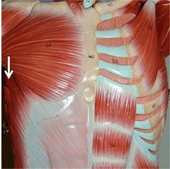 Muscles of the Shoulder and Arm      Both Sides  Serratus anterior    Abducts and protracts the scapula