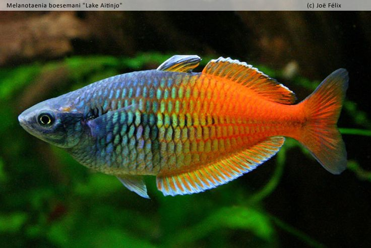 17 best images about rocking rainbowfish and bottom - Poisson shark aquarium ...