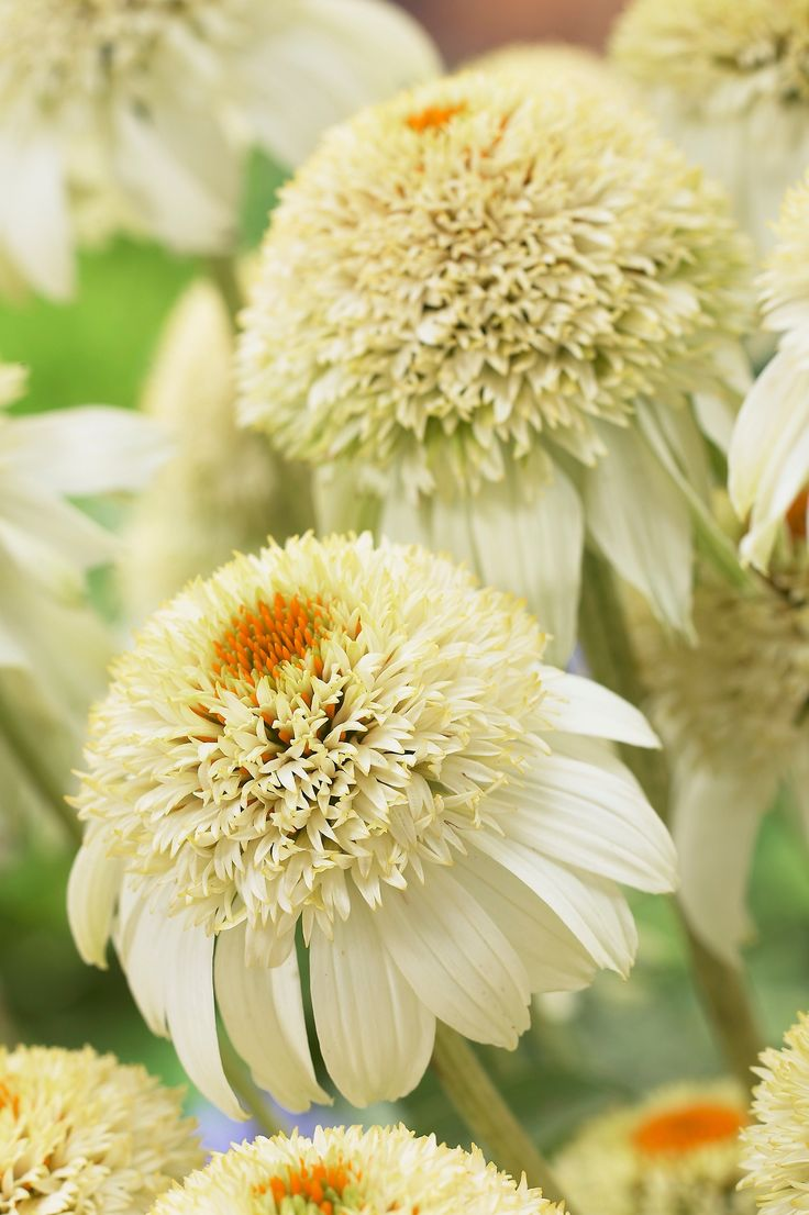 Echinacea 'Milkshake': Front Gardens, White Gardens, Flowers Gardens, Echinacea Milkshakes, Moon Gardens, So Pretty, Cut Gardens, Beautiful Things, Echinacea Purpurea