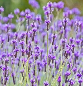 How to make Lavender oil at home, perfect to use in beauty or health products. This healing oil smells so divine!