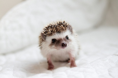 hedgehog - I don't know what this animal is & I never seen it before, but it's very cute!