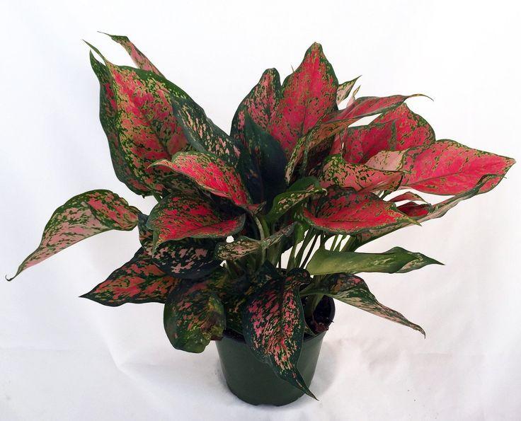 Red Valentine Chinese Evergreen Plant
