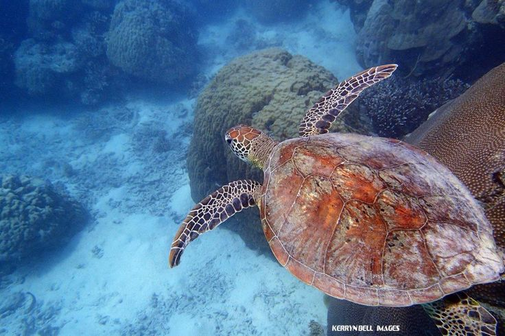 Swimming with green turtle