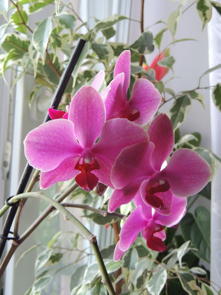 Az orchidea tartás sikere jórészt az öntözéstől függ, amiről most minden titkot felfedünk.