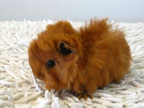 gorgeous guinea pig baby reminds me of my Teddy