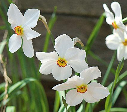 narcissus actea - 45cm - april