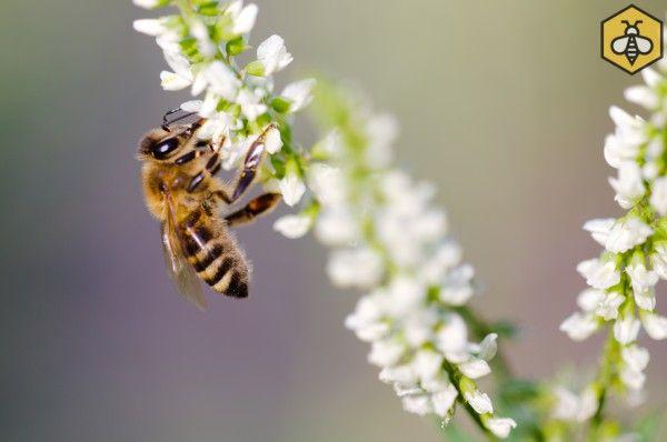 Nostrzyk biały jest bardzo lubiany przez pszczoły i gromadnie odwiedzany.