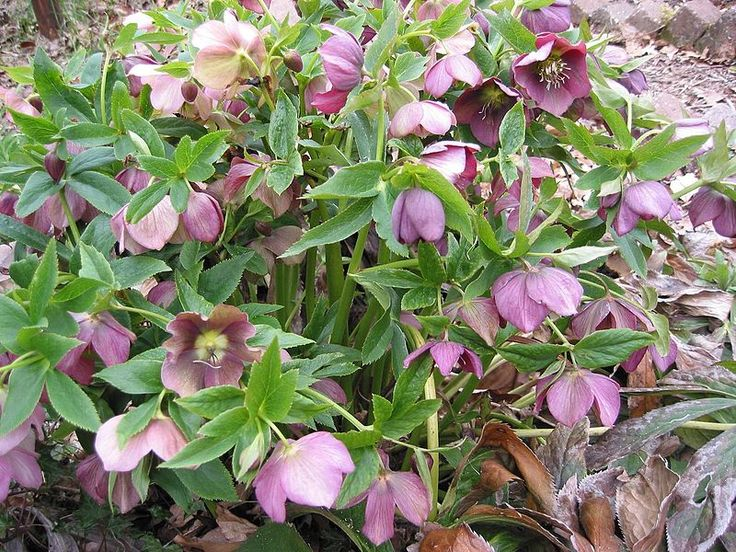 Lenteroos rood plant - H. × hybridus in a garden. The most popular hellebores for garden use, however, are undoubtedly H. orientalis and its colourful hybrids (H. × hybridus). In the northern hemisphere, they flower in early spring, around the period of Lent, and are often known as Lenten hellebores, oriental hellebores, or Lenten roses. They are excellent for bringing early colour to shady herbaceous borders and areas between deciduous shrubs and under trees. Wikipedia, the free…