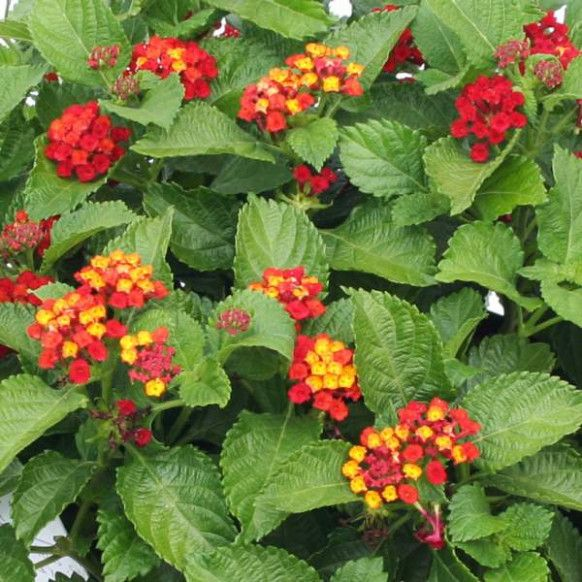 8 Benefits Of Red Lantana That May Change Your Perspective Red Lantana Https Ift Tt 2l9gy3w Plants Lantana Making Plant Pots